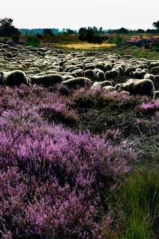 Strabrechtse Heide bij Heeze kleurt ondanks droogte toch weer paars