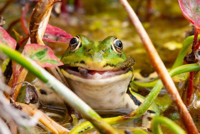 LEKKER HAPJE Deze kikker in de vijver van Lennaert de Looze lijkt een glimlach niet te kunnen onderdrukken als hij een libelle verorbert.