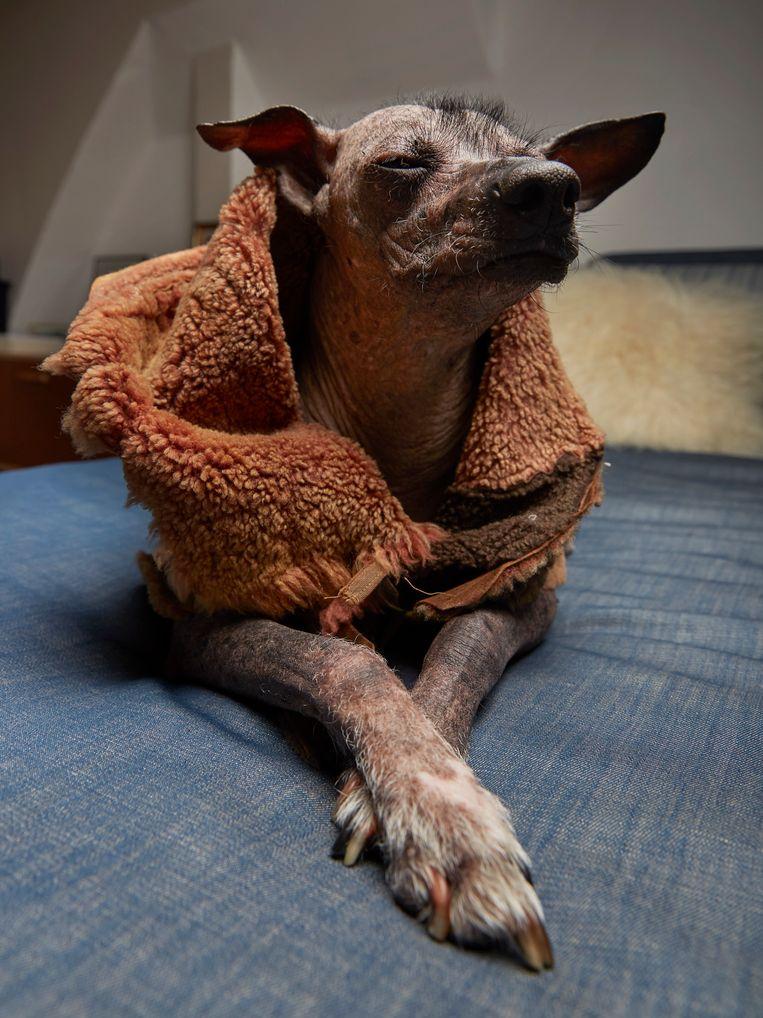 Tattoo (9), Peruaanse naakthond, Bos en Lommer Beeld Isabella Rozendaal