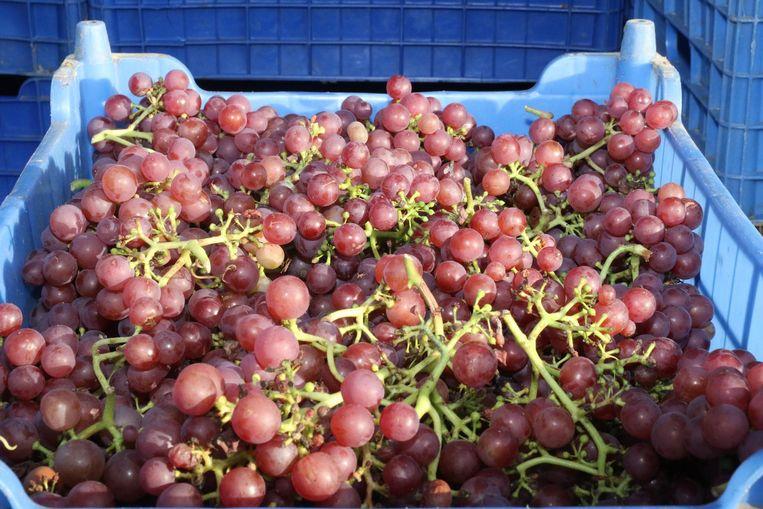 Zo'n 1.500 wijnstokken van de soort 'Siegeberre' werden gisteren geplukt. Dat is goed voor ongeveer 1.500 liter wijn.