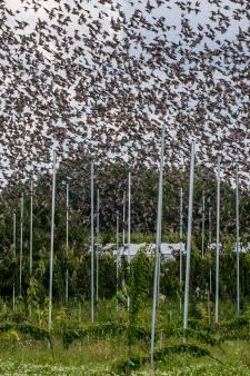 Nachtmerrie voor telers: blauwe lucht boven de kersen ziet zwart van de spreeuwen