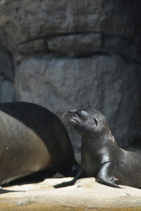 Zeeleeuwtjes geboren in Diergaarde Blijdorp