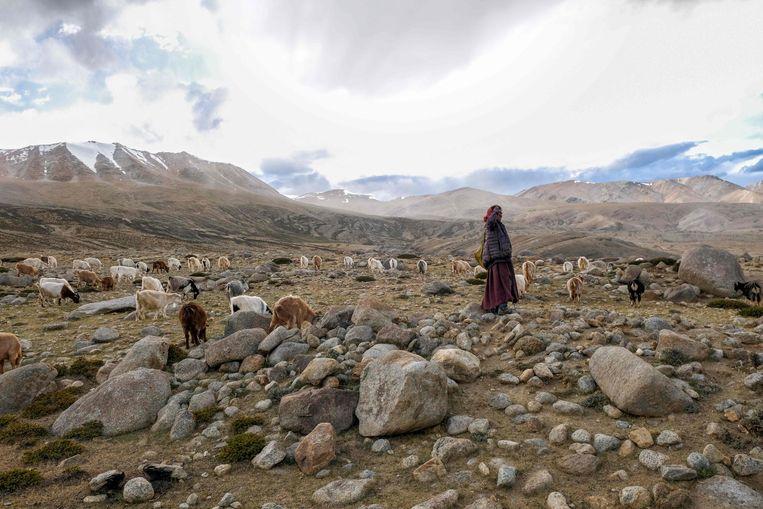 Een nomadische herder in het door India en China betwiste grensgebied in de Himalaya.     Beeld AFP
