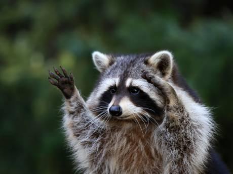 Écht schattig zijn ze niet: wat moeten we met de wasbeer?