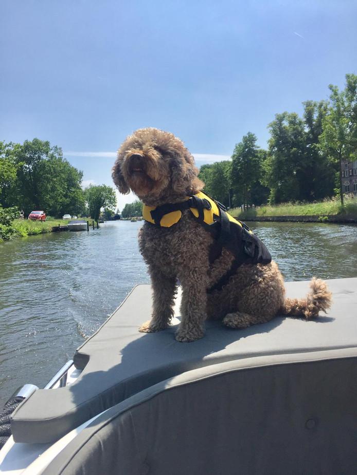 Hond Diesel geniet van een zuchtje wind op de Vecht. Wel met een zwemvest aan, want wie weet neemt hij zomaar een duik. Wie wil dat niet met zulke temperaturen?