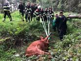 Koe met zwaar materieel uit sloot gered in buitengebied Liempde