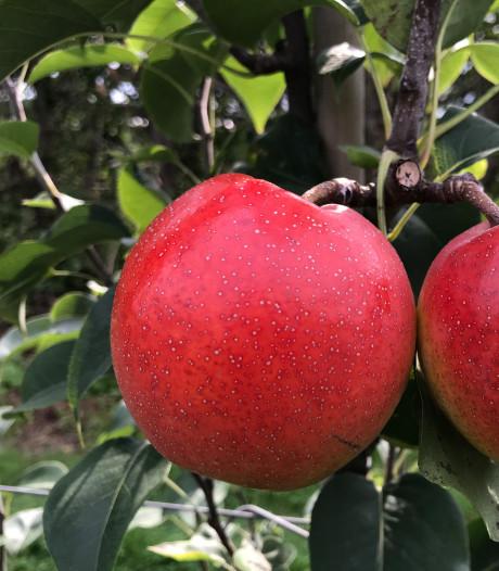 Is het een peer? Is het een appel? Het is de Papple!