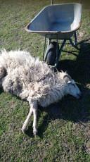 Het dode schaap dat Josine Roggeveen vrijdagochtend in de sloot vond.