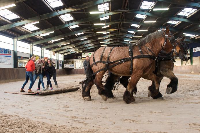 Het tapijt wordt voortgetrokken door twee paarden en dan is het zaak om te blijven staan in de bochten.