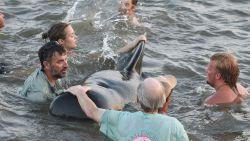 Strandgangers redden aangespoelde dolfijnen