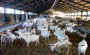 Q-koorts kan van geiten overgedragen worden op mensen.