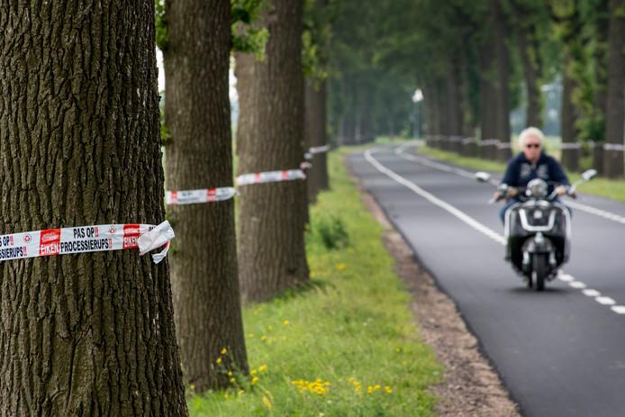 Ophemert. Langs de ze weg hebben alle bomen last van de eikenprocessierups.
