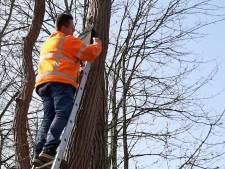 Alblasserdam bindt strijd aan met 'plaaggeest': 300 nestkastjes tegen de eikenprocessierups