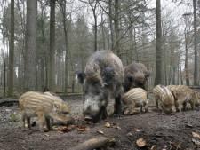 Burgemeester Heeze-Leende pleit voor controversiële jachtmethode om overlast wilde zwijnen tegen te gaan