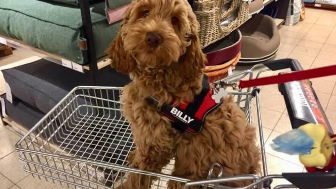 """Pup Billy van 2.000 euro al na vierde dag gestolen: """"Dief maakte omheining in de tuin stuk"""""""