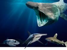 Komen gevaarlijke haaien straks ook naar onze kust?