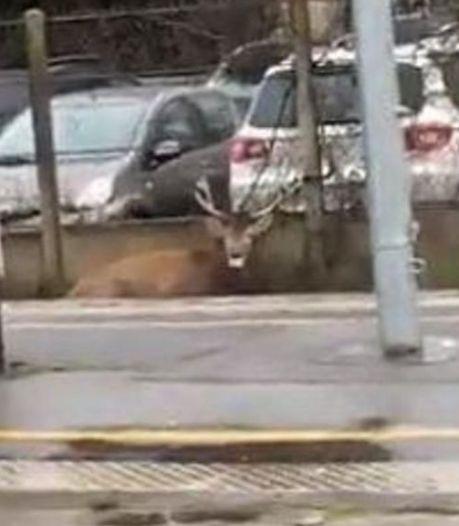 Traumatisé et épuisé, un cerf chassé à courre se réfugie dans une gare