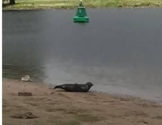 Zeehond gespot in de Lek bij Vianen.