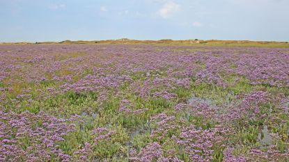 Zwinvlakte kleurt paars