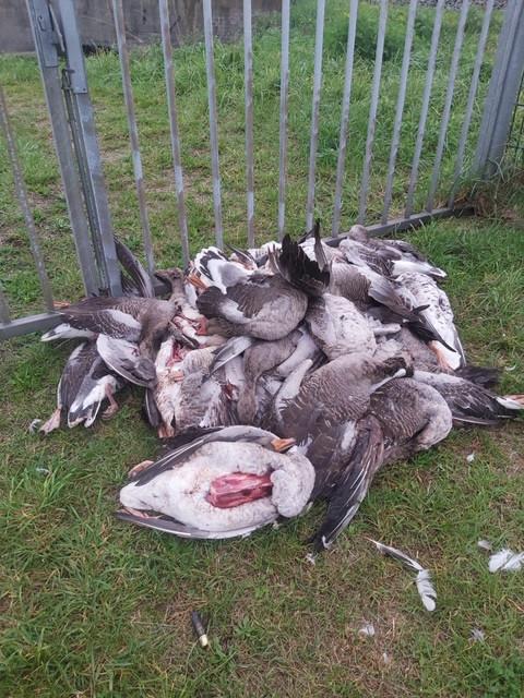 De dode ganzen in Driebruggen