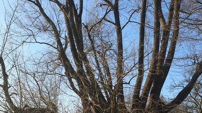 Beschermde boom op nippertje gered