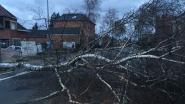 Omgevallen boom verspert de Rijn in Geel