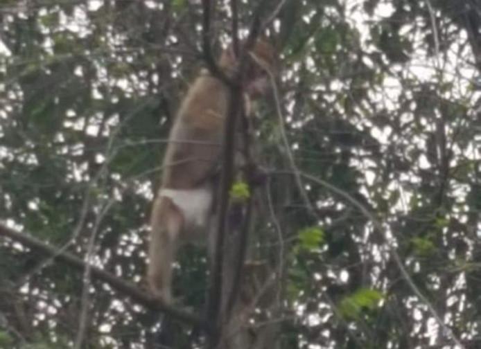 Le macaque de Barbarie aperçu mercredi à Ekeren