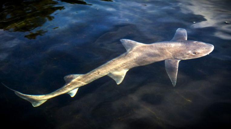 Een gevlekte gladde haai.