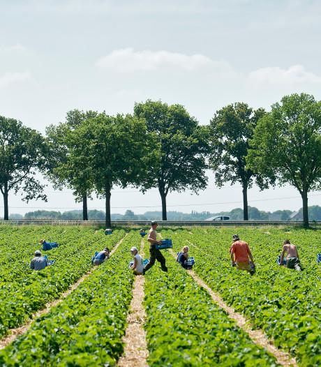 Vietnamees plukt straks onze peren: 'We kunnen in Nederland niet zonder arbeidsmigranten'