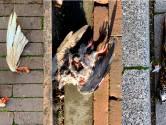 Het mysterie van de dode vogels onder de toren van Van Lanschot: 'Vermoedelijk een roofvogel'