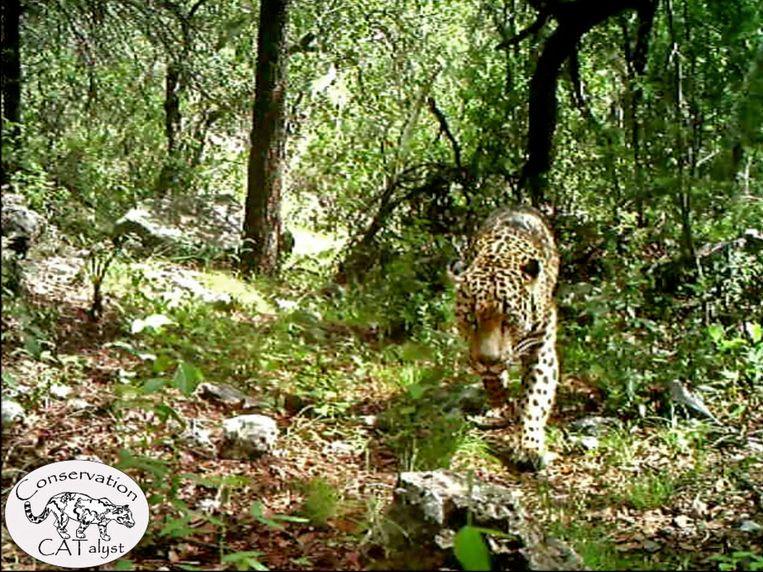 Twee jaar geleden kon een andere jaguar, 'El Jefe', op film worden vastgelegd.