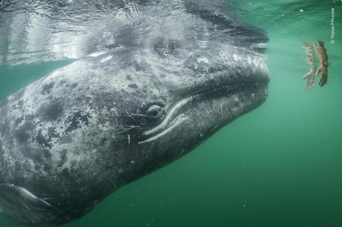De liefste. Een jonge grijze walvis inspecteert een hand van een toerist voor de kust van Mexico. Wildlife Photographer Of The Year