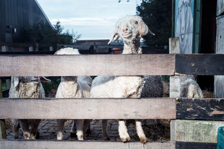 De krullende vacht van de dieren van The Knitwit Stable zorgt voor wol van zachte en duurzame truien. Op deze foto staan de angorageiten. Beeld Jakob Van Vliet