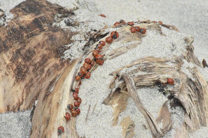 GEEN 1,5 METER Samenscholing van lieveheersbeestjes op het strand bij Ritthem in coronatijd.