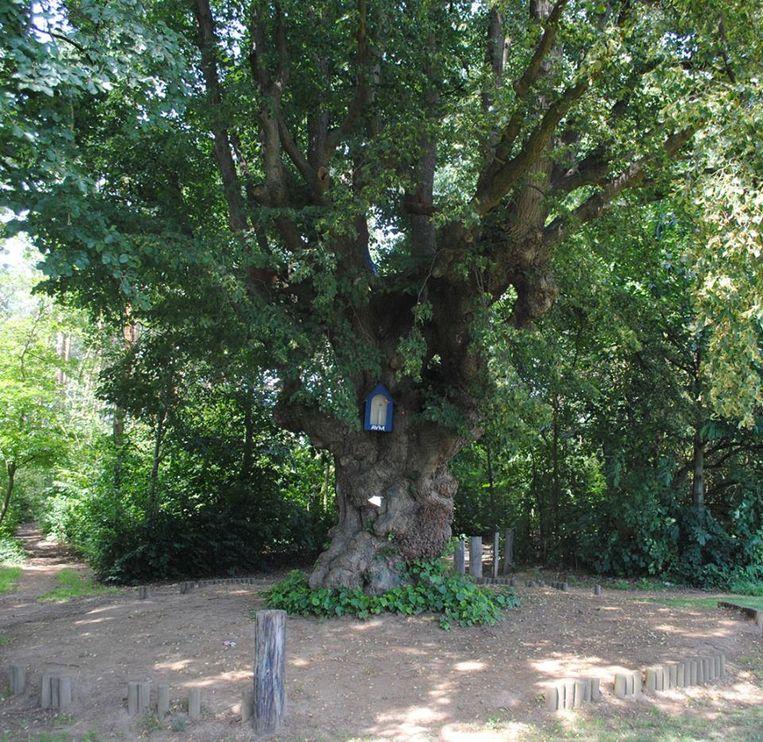 De eeuwenoude 'Kapellekensboom' aan de ingang van het bos.