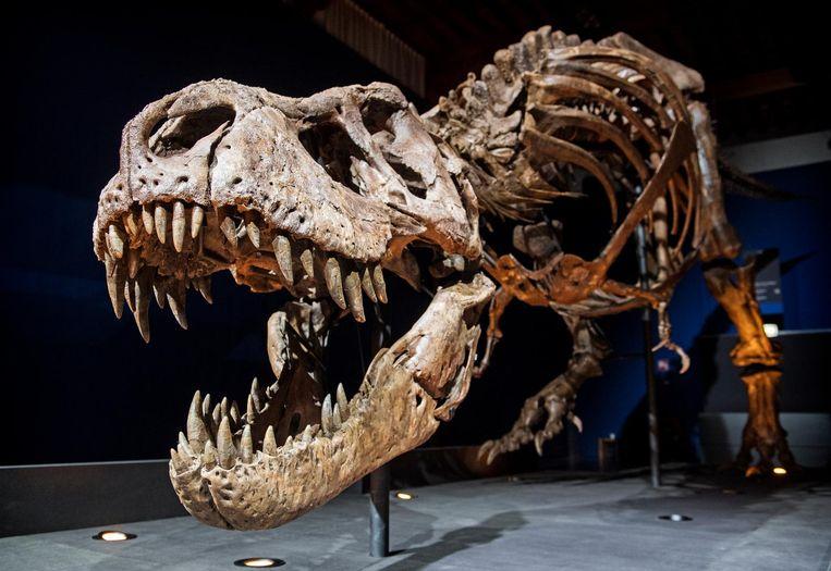 Het skelet van T. rex Trix in Naturalis. Het museum krijgt 1,25 miljoen euro voor een nieuwe 'vierdimensionale' presentatie rond de 66 miljoen jaar oude dinosaurus. Beeld anp