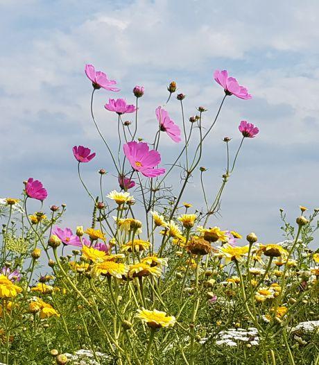 Amersfoort krijgt zes bermen met bloemen en kruiden: 'Goed voor bijen en vlinders en nog mooi ook'