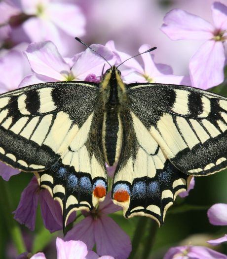 Zeldzame koninginnenpage fladdert steeds vaker rond in De Wieden