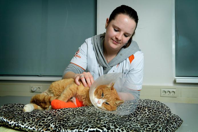 Kater Gerrit komt bij van zijn tweede operatie bij dierenkliniek Basic Vets.