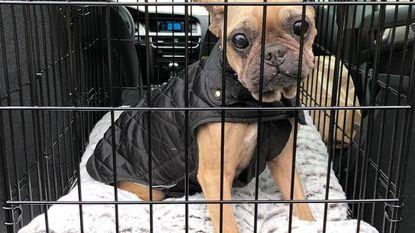 Nieuwe thuis voor bulldog Mona