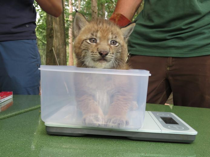 Eén van de jonge lynxen in Anholter Schweiz wordt gewogen.