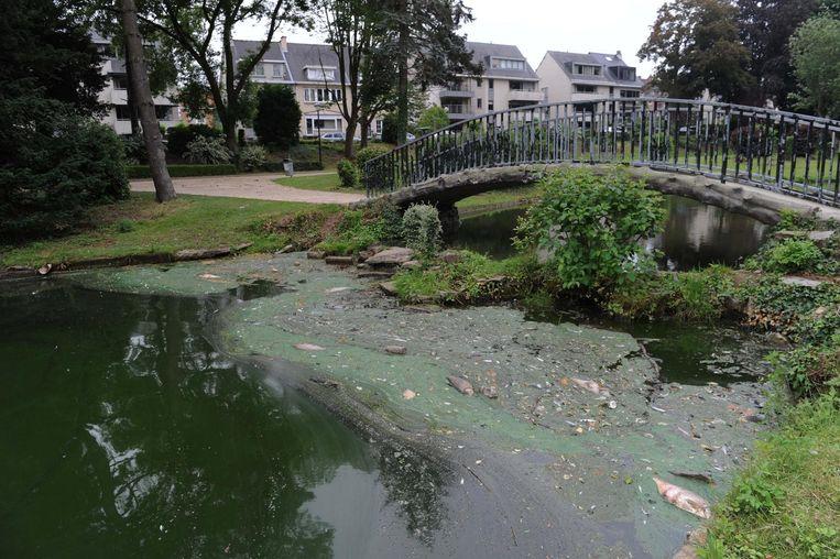 Vissen In Vijver : Overblijvende vissen liggen dood in gemeentelijke vijver wemmel