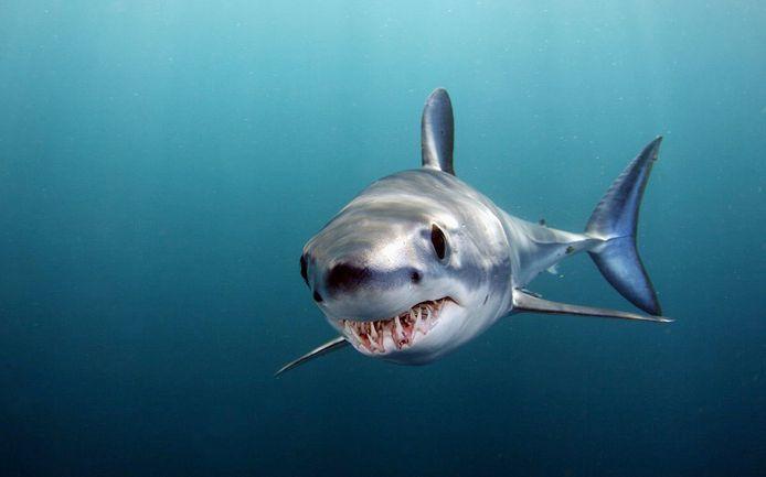 Een van de zwaar overbeviste haaiensoorten is de makreelhaai