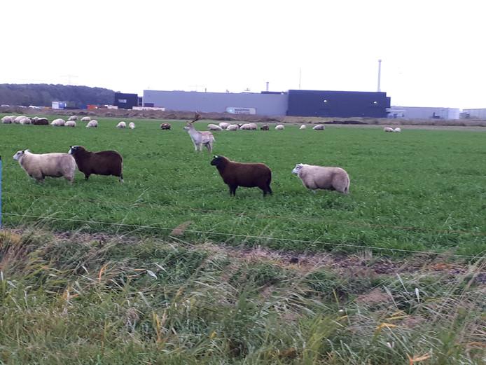 Het hert tussen de schapen