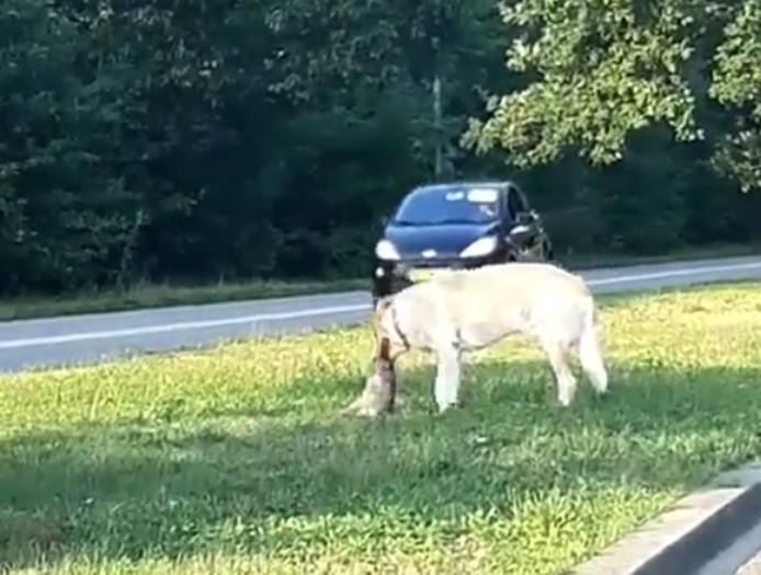 De hond probeert het konijntje te verscheuren op de middenberm van de Julianasingel in Oss.