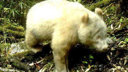 Volledig witte panda gespot in China