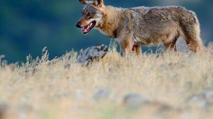 Wolf Billy na aanrijding in goeie conditie onderweg naar Nederland