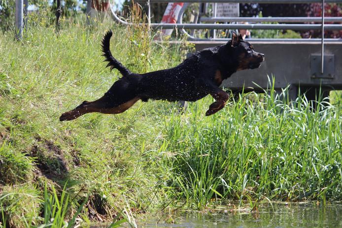 Hond Lucky geniet van de zomer. Vol overgave stort hij zich het Valleikanaal in Leusden in. Tijd voor afkoeling.