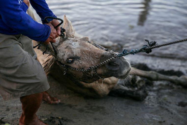 Een man trekt een gewond paard uit het water na de uitbarsting van de vulkaan Taal op de Filipijnen.