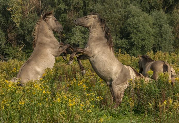 Vechtende Konikpaarden in de Kaliwaal. Still uit de aanstaande film.